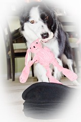 DDC 619 7-11 and for my next (MAGIC) trick i'm gonna pull a rabbit out of...... (crabbott1) Tags: dog bunny magic trick bordercollie ddc