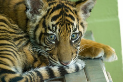 0006.jpg (loki_the_hobbyist) Tags: zoo cub washington tiger wa sumatrantiger portdefiancezoo portdefiance