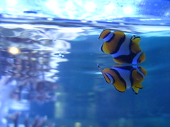 IMG_6979 (gloria.zavalloni1) Tags: blue orange fish water animals nemo acquarium