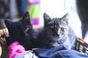 1/8.2013 - a basket of socks makes a great kitten bed (julochka) Tags: cats kittens cuteness babyanimals catperson