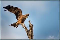 Black Kite  Scientific Name- Milvus migrans-2 (Mike Schurmann) Tags: kite black birds name raptor rockhampton scientific milvus migrans sigma12030028sports2xsigmateleconverter