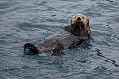 Anglų lietuvių žodynas. Žodis sea otter reiškia jūrinių ūdrų lietuviškai.