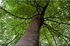 Beech days (33/52/2013) (Missy2004) Tags: tree newforest beech busketts nikkorafs18105mm3556ged 52weeksfornotdogs