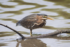 Green Heron (Ashley Northcotte) Tags: ontario green heron birds canon ashley southern stcatharines xs northcotte