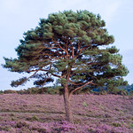 Heather-and-Pine