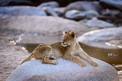Lone Lion Cub (Martin Tyler) Tags: africa travel animals southafrica wildlife lion safari afrika krugernationalpark mpumalanga krugerpark sabisand pantheraleo southafrika sabisands leopardhills