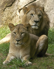 our lion couple