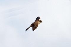 032034-IMG_6487 American Kestrel (Falco sparverius) (ajmatthehiddenhouse) Tags: usa bird colorado americankestrel falco falcosparverius sparverius 2013