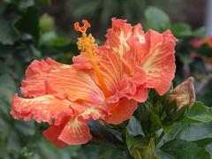 Hibiscus (ozuiko) Tags: flowers gardens olympus pistil hibiscus omd em5 14150mm hibiscuspistil hibiscuswonder mzuiko olympusomdem5