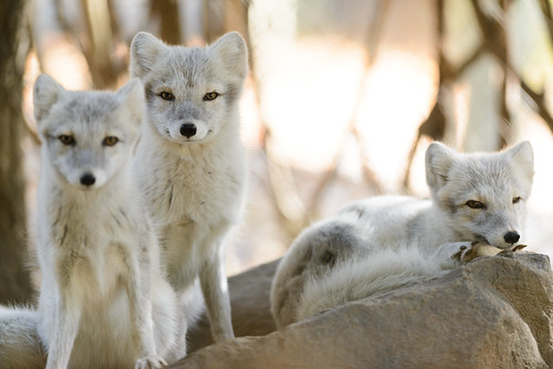 Three Arctic Foxes by Eric Kilby, on Flickr