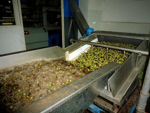 Nettoyage des olives, fabrication d'huile, Megali Mantineia, Grèce