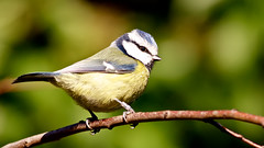your making me look a right tit . (blackfox wildlife and nature imaging) Tags: canon tits bluetit wirral 1dmkiii