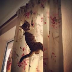 Turbo (Sam Tait) Tags: cat naughty kitten lol exploring pussy climbing turbo curtains mischief
