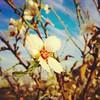 #زهرة_لوز | #Almond_Flower #Photography | @Saleh4One #فلسطين #جنين #رمانة #تعنك #Palestine #Jenin #Rommanah # Ta'ink #لوز #زهرة #Almond #Flower