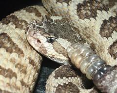Rattlesnake with Rattle (EcoSnake) Tags: education teaching snakes reptiles littleguy herpetology greatbasinrattlesnake crotalusoreganuslutosus