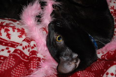 Sphinx (*Red~Cyan* (Pro- 2.4 Million+ Views- Thanks all!)) Tags: pink pet playing black sphinx cat blackcat fun toy bed kitten funny feathers boa blanket mycat featherboa mypet pinkfeatherboa pinkboa mykitten christmasblanket keikosfeatherboa