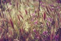 Bl (Inamils Photographie) Tags: nature rose fleurs photographie champs violet vert sec paysage printemps verdure dense color bl vgtation champtre