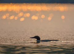 Adult Common Loon on a Wisconsin Lake in Chequamegon-Nicolet National Forest (Lee Rentz) Tags: sunset summer usa lake laura bird water birds animal animals silhouette sparkles wisconsin forest us duck log adult wildlife country north ducks diving highlights greatlakes sparkle national service upnorth waterfowl common northern wi avian loon shimmering shimmer wis chequamegon nicolet immer gavia chequamegonnicolet