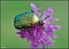 Cetonia aurata (alfvet) Tags: macro nikon ngc natura bugs insetti sigma150 parcodelticino veterinarifotografi d5100 macroelitecontestwinner