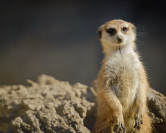 Meerkat (Kevin Fandre) Tags: standing meerkat attention alert fortworthzoo