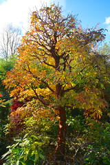 Acer griseum (Paper Bark Maple) tree in autumn (Four Seasons Garden) Tags: uk november autumn england tree garden paper four maple seasons bark acer walsall griseum
