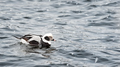 Long-tailed Duck (Clangula hyemalis) (ER Post) Tags: bird duck unitedstates michigan muskegon oldsquaw longtailedduckclangulahyemalis
