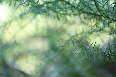 entre una multitud (claudioreflex) Tags: naturaleza verde green nature pine canon rainforest bokeh bosque botanico pino vegetación valdivia 700d t5i 55250mm
