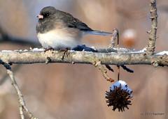 DSC_0260 (rachidH) Tags: snow nature birds junco nj neige sparta oiseaux darkeyedjunco juncohyemalis juncoardois rachidh