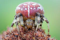 Four-spotted Orb Weaver II (johnhallmen) Tags: spider arachnid naturallight orbweaver araneidae canonmpe65 canon5dmkii zerenestacker {vision}:{outdoor}=0925
