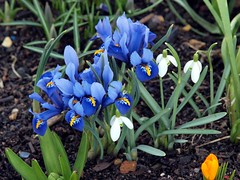 A Touch of Spring (saxonfenken) Tags: flowers white green garden spring blu lilac snowdrop 8118 8118flowers