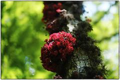cacau (zenog) Tags: jardimbotanico flordecacau