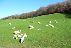 Spring sprung (daviddb) Tags: lamb baa
