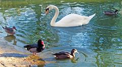 Parque Maria Luisa, Sevilla. (Sara Garca.) Tags: park parque espaa lake love nature water beautiful animal canon nice swan sevilla andaluca spain place maria ducks happiness seville spanish andalusia luisa canonanimal