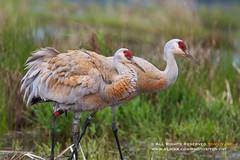 Sandhill Crane (Grus canadensis) (Tony Varela Photography) Tags: crane sandhillcrane gruscanadensis gruiform nisquallynationalwildliferefuge northbirdphotography photographertonyvarela