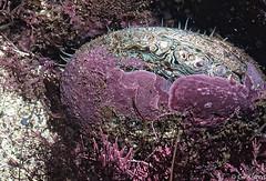 Abalone (Gary P Kurns Photography) Tags: film closeup nikon underwater events abalone channelislands kodachrome64 hydro35
