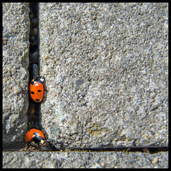 ROCK BUGS (ESOX LUCIUS) Tags: holland garden insect insects taco ladybug lieveheersbeestje