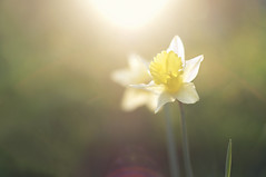 Reaching for the Sun (Ida H) Tags: sunset weather yellow golden spring glow seasons seasonal joy happiness glorious lensflare daffodils goldenhour