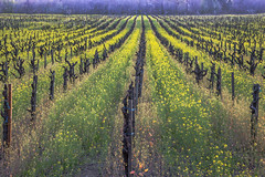 Dry Creek Mustard #2 (Tom Moyer Photography) Tags: california vineyard vines mustard sonomacounty winecountry drycreekvalley