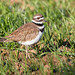 Killdeer_65K0772_4x6 copy
