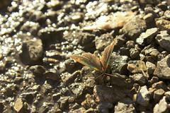 Stealthy butterfly (- Gothic -) Tags: macro nature butterfly insect wings natura ali stealth farfalla insetti mimetic nascosto invernizzi andreainvernizzi fotografinewitaliangeneration macroenaturaripresadavicino canon550d