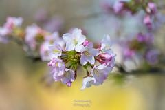 Cherry tree flowers (n