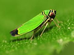Green Leafhopper (treegrow) Tags: macro nature insect washingtondc rockcreekpark arthropoda lifeonearth cicadellidae raynoxdcr250 canonspeedlite430exii tylozygusgeometricus canonpowershotsx40hs taxonomy:binomial=tylozygusgeometricus