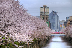 Cherry trees stretching as far as the eye can see... (<<Jamms>>) Tags: city bridge flowers trees plant flower color colour building tree water colors japan canon river cherry landscape tokyo spring colours blossom outdoor blossoms fav20 bloom  cherryblossom sakura  blooms   fav30 meguro       fav10 kantou