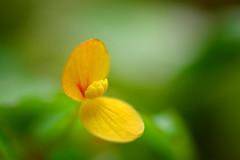 Begonia prismatocarpa var. Variegated (male flower) (qooh88) Tags: green yellow leaf stamen begonia begoniaceae         maleflower     begoniaprismatocarpavarvariegated