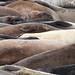 Elephant Seals #1