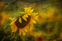 Sonnenblume - Sunflower (Pana53) Tags: nikon bokeh outdoor pflanze gelb sunflower grün blätter farbe rund bunt blütenblätter textured leuchtend sonnenblume hintergrund samen textur lichtschatten sonnenblumenkerne marmoriert blütenpracht heiter scheinend nikond800 pana53 photographedbypana53 texturedbypana53