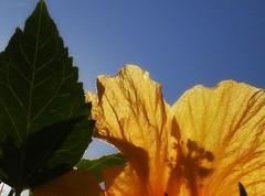 cores e flores do Brasil (Carla Cordeiro) Tags: flores natureza folha cuazul papoula luzsombra coresdobrasil