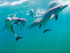 We Have the Scarf; You Don't (altsaint) Tags: scarf underwater dolphin panasonic bahamas bimini gf1 714mm atlanticspotteddolphin stenellafrontalis