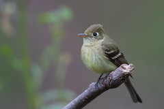 Pacific-slope Flycatcher (X73_6740-1) (Eric SF) Tags: pacificslopeflycatcher flycatcher garinregionalpark hayward california bird