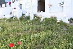 La muerte entre las flores. (elojeador) Tags: cementerio cementeriodelaroya amapola flor hierba malahierba silvestre ortiga vinagreta margarita ramo cruz nicho piedra delcampo elojeador